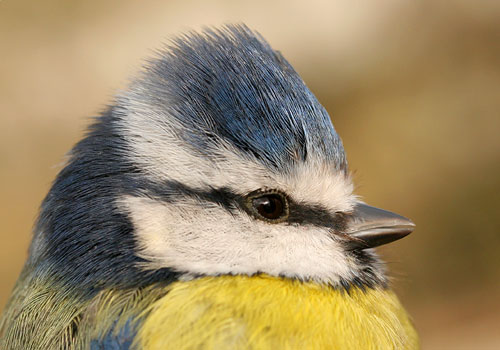 bp_blue_tit_3_080210_500